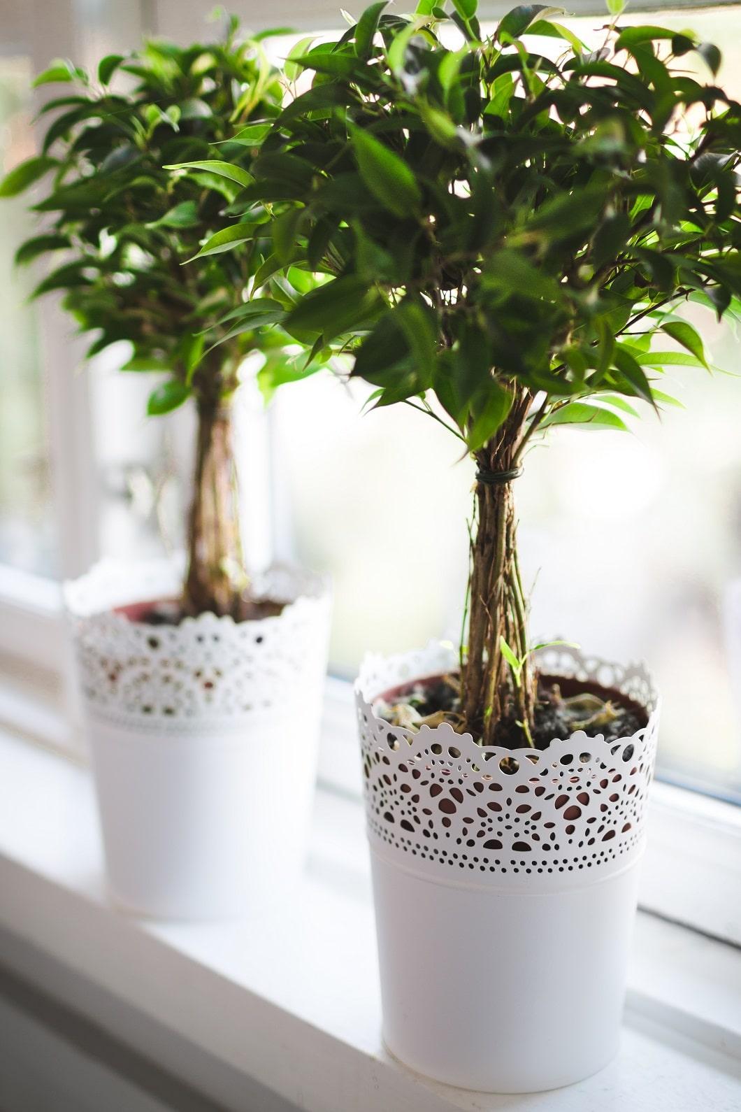 Überall ein gern gesehener Gast, weil besonders pflegeleicht: Der Ficus Benjamini. (Foto: Lucas Alexander)