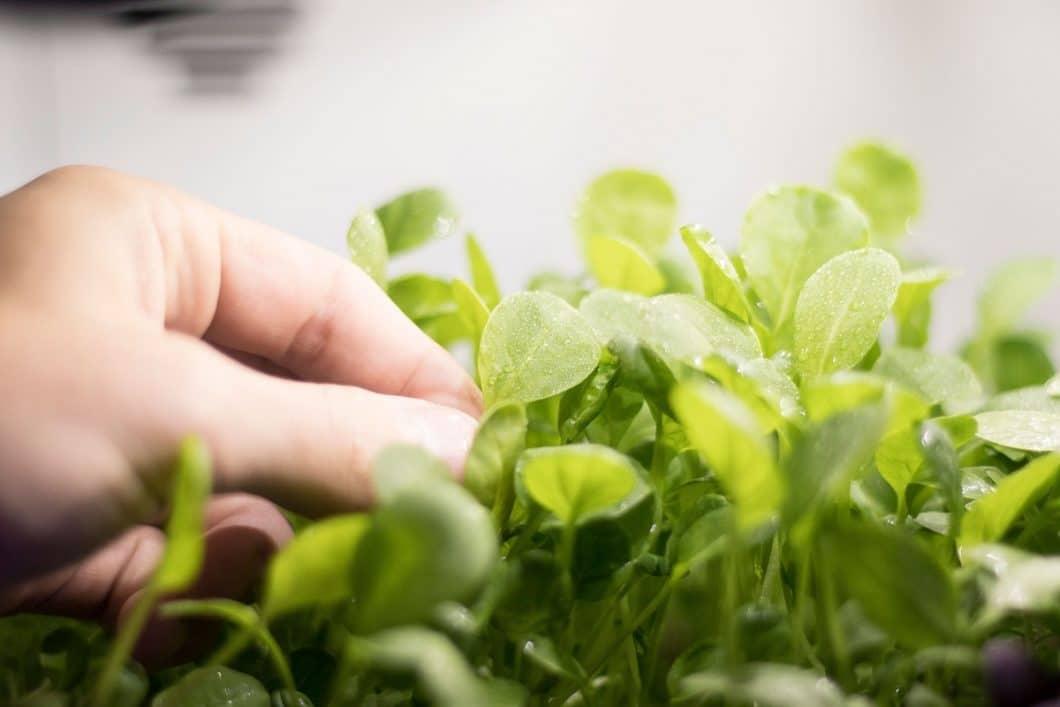 Frische Salate, Kräuter und Microgreens in der eigenen Küche züchten? Mit dem Plantcube ist das ab sofort möglich. Entworfen hat ihn das Münchner Start-Up agrilution. (Foto: agrilution)